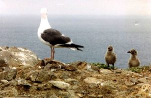 <b>Baby Sea Gulls</b><br> The island was crawling with baby seagulls during our visit.