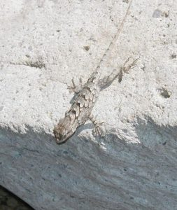 <b>Critters</b><br> Tons of lizards along the trail, including this Mountain Boomer.