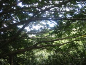 <b>Forest Canopy</b><br> These massive arms of a tree are growing horizontally and make for thick canopy during the hike.