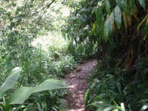 <b>The Trail To Waikamoi Falls</b><br> It's a short hike to Waikamoi Falls along the trail from Mile 10 on the Hana Highway.