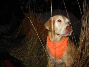 <b>Orange Ruff Wear</b><br> It's hunting season, so here's the hound modeling some blaze orange. We heard shots in the evening and morning - deer hunters we think.
