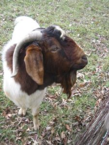<b>Goat Rodeo</b><br> The kids enjoyed a heard of goats that were wandering in a pasture near the cabins.