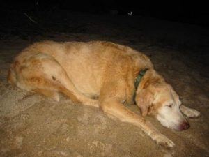 <b>Sacked Out</b><br> The dog was wiped out after numerous trips in and out of the water.