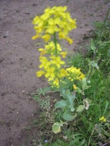 <b>Wildflowers</b><br> Wildflowers in the plot near the viewing tower.
