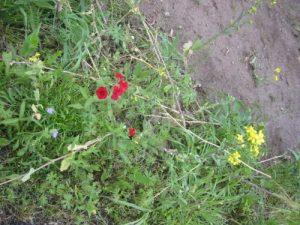 <b>Wildflower Plot</b><br> Wildflowers in the plot near the second viewing platform.