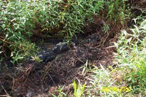 <b>Lazy Gator in the mud</b>