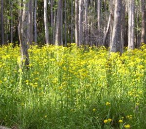 <b>Wildflower Bloom at Flatwoods</b><br> Among the cypress trees, normally this area is underwater but with our drought of 07, this normally wet area provided some beautiful blooms such as this.