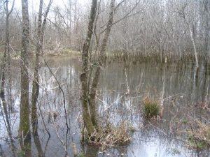 <b>Swampland</b><br> Swampy terrain off the boardwalk near mile marker #10.
