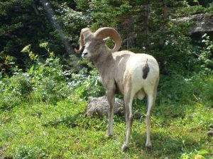 <b>Bighorn Sheep</b><br> Between a three-day, two-night backpacking trip and two day hikes, we saw lots of wildlife on this trip, including two bears, two moose, lots of bighorn sheep and mountain goat, and a few marmot and deer.