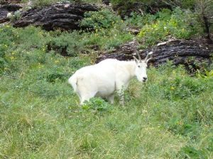 <b>Mountain Goat</b><br> These guys were abundant, and they weren't bashful at all.