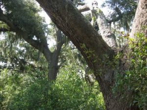 <b>Oak Trees</b><br> Live oak trees that remain from a plantation that once provided timber for U.S. Naval ships in the early 1800's.