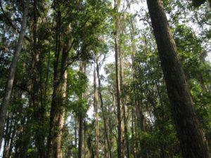 <b>Pine Forest</b>