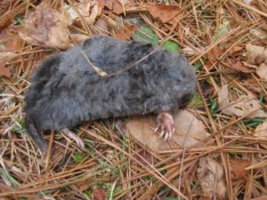 <b>Dead Mole</b><br> This critter was laying right on the trail and the kids were fascinated by it.