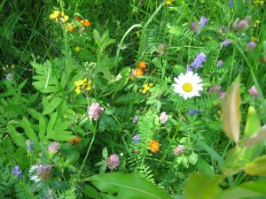 <b>Wildflowers</b><br> Around Sugarloaf we hiked through fir trees but at Caribou Valley Road - it was all wildflowers.